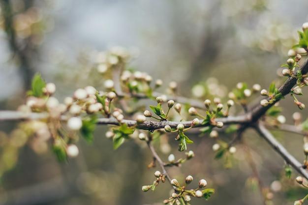 Fiori di ciliegio in piena fioritura