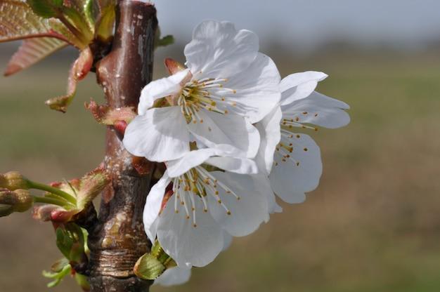 Fiori di ciliegio in un giardino