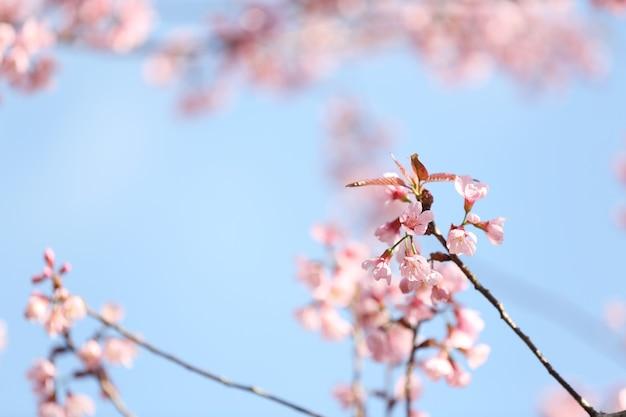 Fiori di ciliegio, fiore di sakura in primo piano