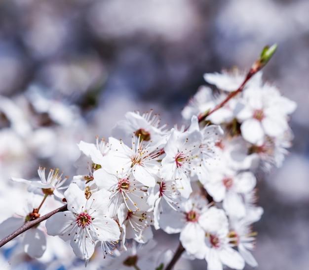 Fiori di ciliegio in primavera bellissimi fiori bianchi