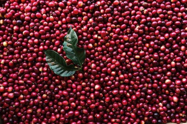 Chicchi di caffè alla ciliegia, caffè rosso nel sacco e sulla mano