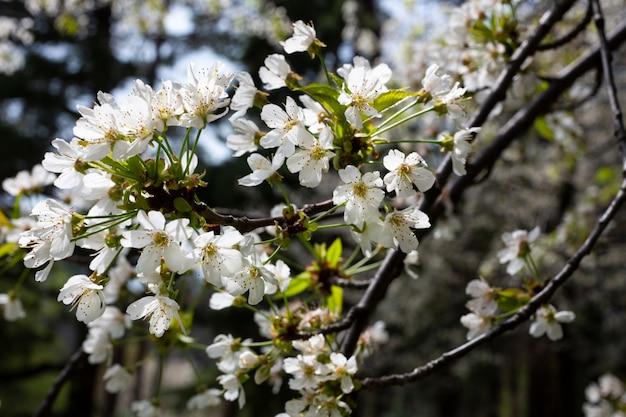 Fiori di ciliegio sullo sfondo di piccoli fiori bianchi su un ramo in giardino
