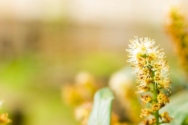 Primo piano e macro dell'alloro della ciliegia, pianta del fiore
