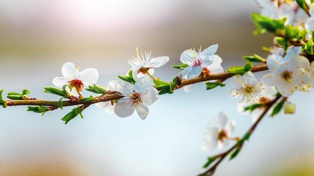 Fiori di prugna ciliegia vicino al fiume su uno sfocato