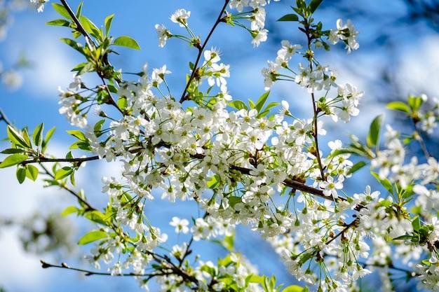 Ciliegio in densa fioritura bianca in primavera nel giardino Foto Premium