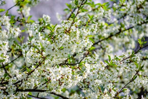 Ciliegio in densa fioritura bianca in primavera nel giardino
