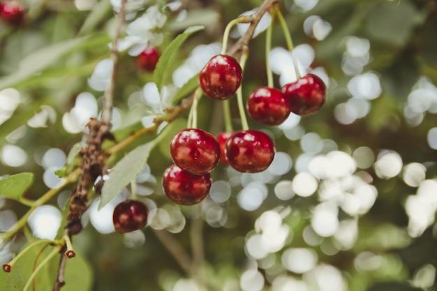 Ciliegio in giardino con frutti maturi sul ramo. frutti sani estivi