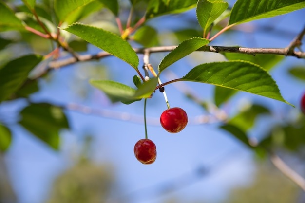 Ciliegio con ciliegie rosse nel giardino. ciliegie acide organiche mature fresche sul ramo con foglie.fuoco selettivo