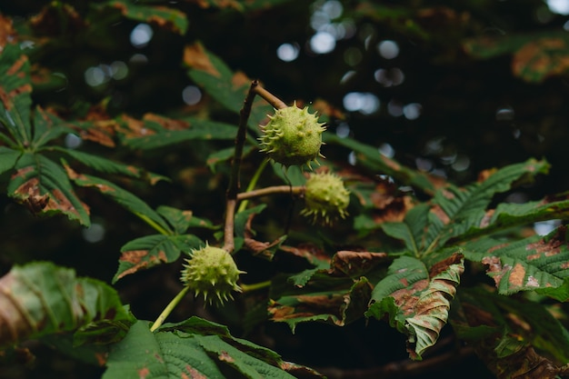 Frutto di castagno su un albero