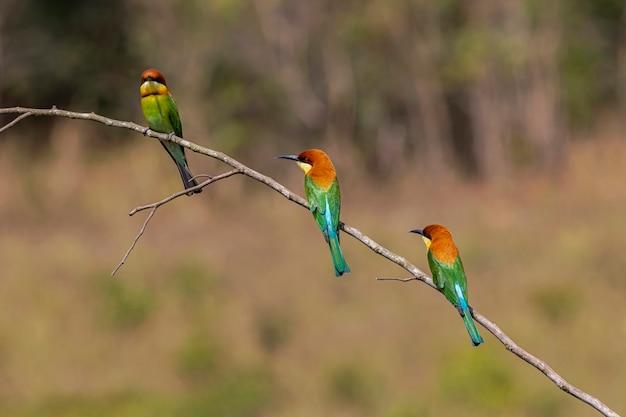 Gruccione dalla testa di castagno merops leschenaulti bellissimi uccelli appollaiati su un ramo