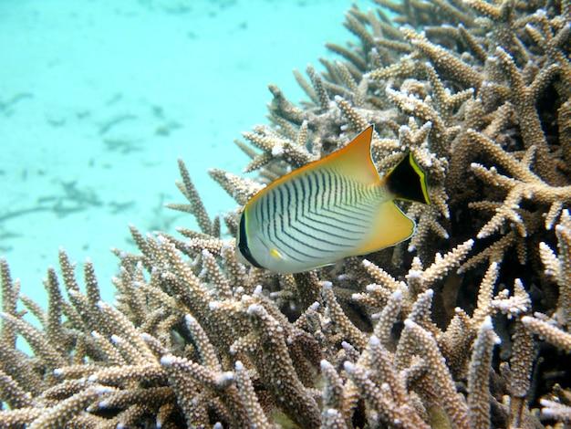 Chevroned butterflyfish, chaetodon trifascialis, nuota sopra la barriera corallina Foto Premium