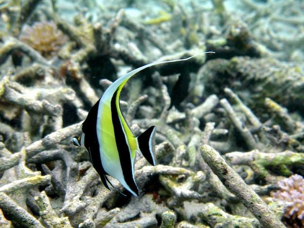 Chevroned butterflyfish, chaetodon trifascialis, nuota sopra la barriera corallina