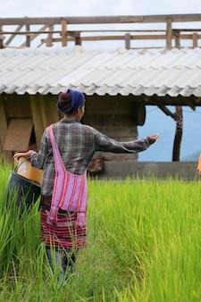 Provincia di chiang mai, thailandia. coltivatore di riso semina il grano a pa bong piang, nel nord della thailandia