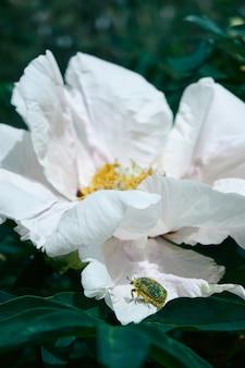 Una gemma di peonia bianca chic con uno scarabeo su un petalo su uno sfondo di un giardino verde, primo piano. sfondo naturale