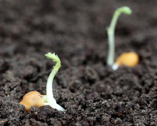 Piantina di ceci in terreno fertile