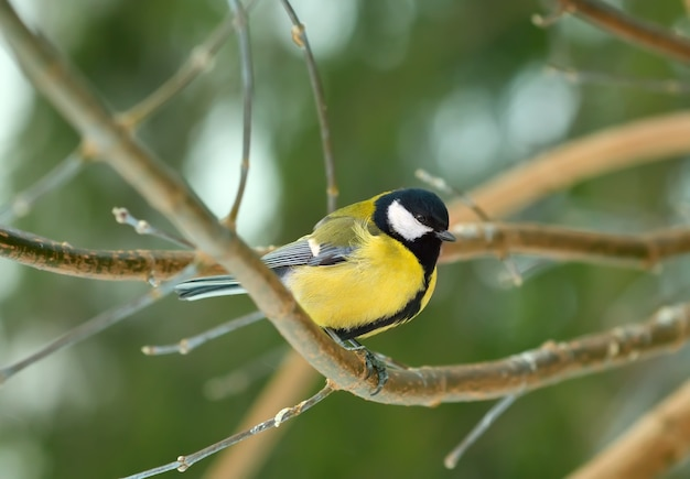 Una cinciallegra su un ramo nel parco. primo piano dell'uccello della foresta su uno sfondo verde sfocato