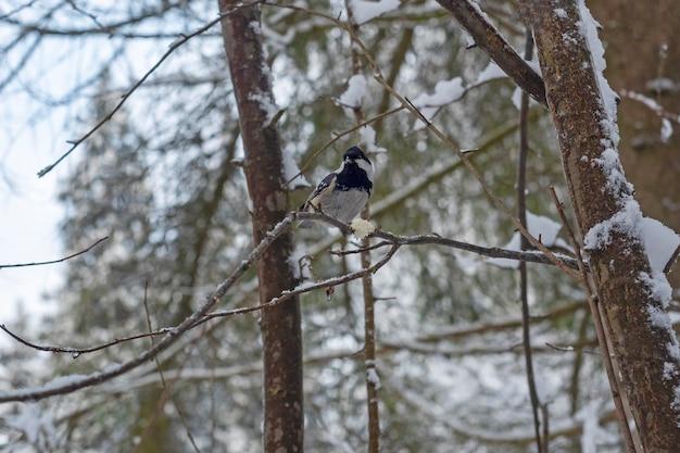 Una cincia si siede su un ramo nella foresta con un piccolo pezzo di pane. aiutare gli uccelli in inverno, prendersi cura dell'ambiente