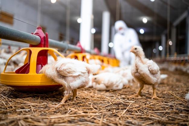 Pollo che mangia cibo proteico in un moderno allevamento di pollame per la produzione di carne industriale.