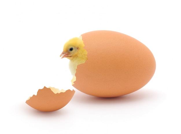 Pollo e guscio d'uovo