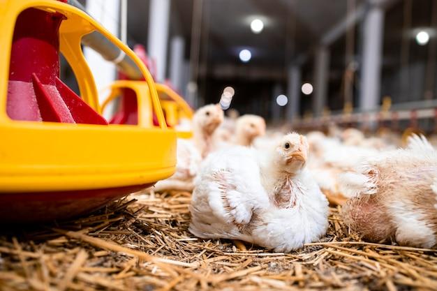 Pollo e mangiatoia con cibo all'allevamento di pollame.