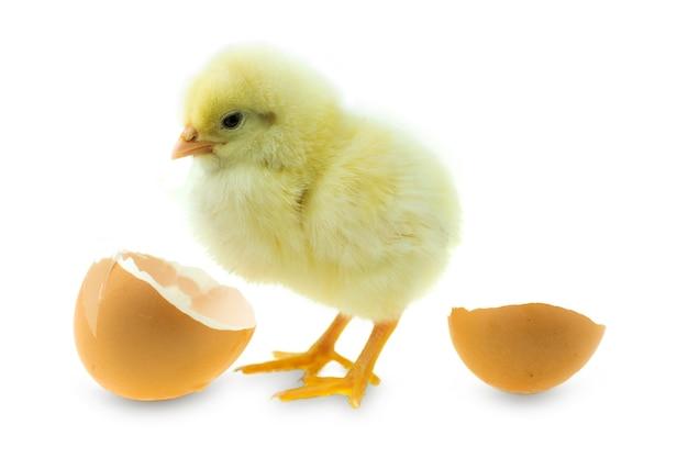 Pollo che cova da un uovo e guscio d'uovo su sfondo bianco