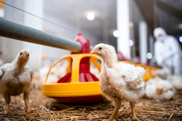 Pollo in un moderno allevamento di pollame per la produzione di carne industriale.