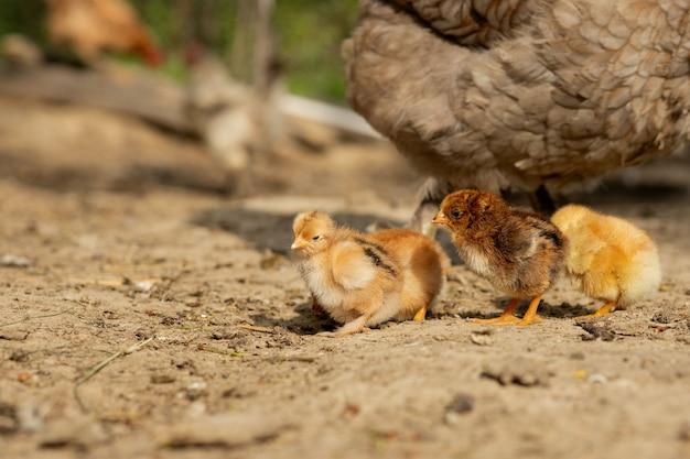 Pollo con pulcini in una fattoria