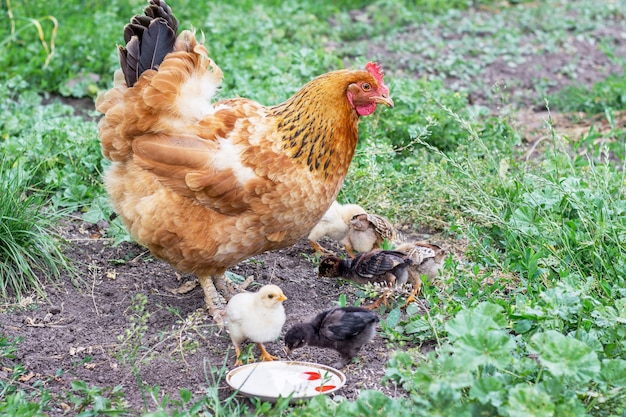 Pollo con i piccoli polli nel giardino in cerca di cibo