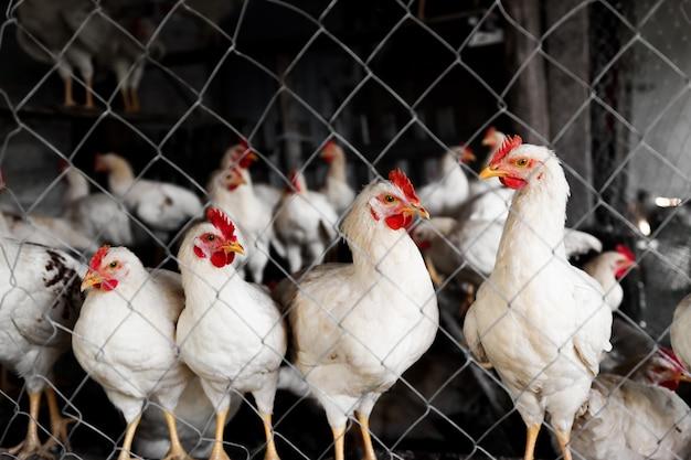 I polli sono bianchi nell'allevamento di pollame dietro la rete. sviluppo della zootecnia e dell'agricoltura. pollame giovane.