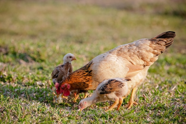 Polli che mangiano cespugli di vari tipi e dimensioni sull'erba del campo