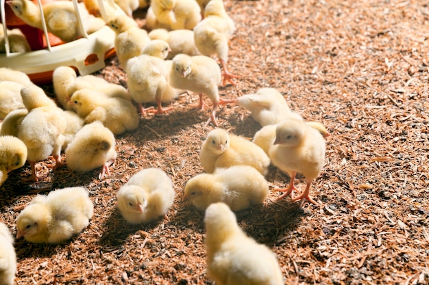 Pulcini in un allevamento di pollame