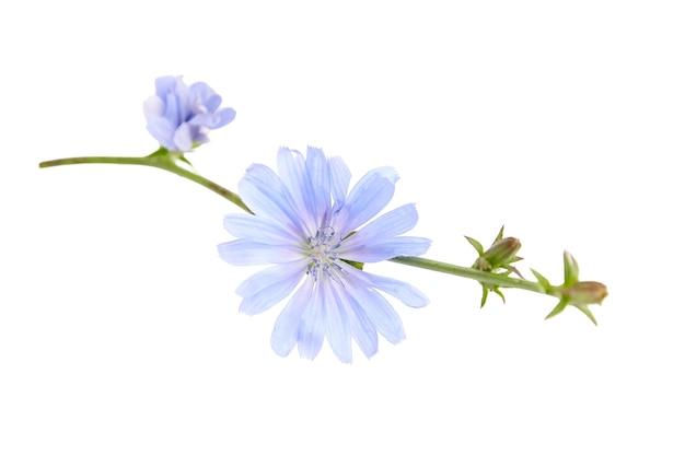 Fiore di cicoria blu isolato sulla parete bianca