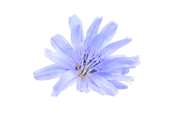 Pianta di fiore blu cicoria isolata sulla parete bianca