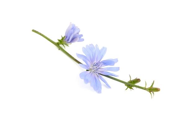 Cicoria blu fiore pianta isolata