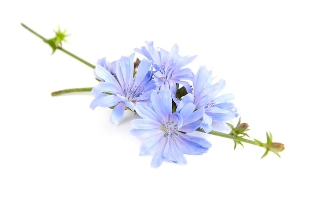 Fiori di cicoria blu isolati sulla parete bianca
