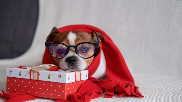 Il cane chihuahua in occhiali e sciarpa rossa con regalo di natale si sdraia sul pullman. buon natale. buon anno. cane di babbo natale.