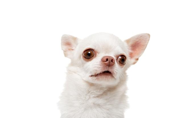 Il cane chihuahua sta posando. carino giocoso bianco crema alla pecorina o pet in posa isolato su sfondo bianco. concetto di movimento, azione, movimento, amore per gli animali domestici. sembra felice, felice, divertente. immagine a mezzo busto.