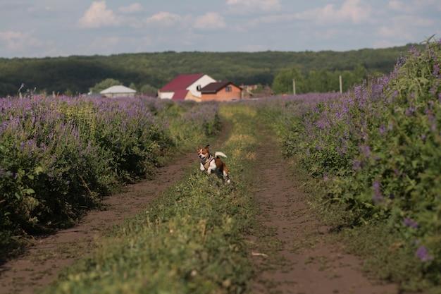 Cane della chihuahua che corre nel prato al giorno d'estate