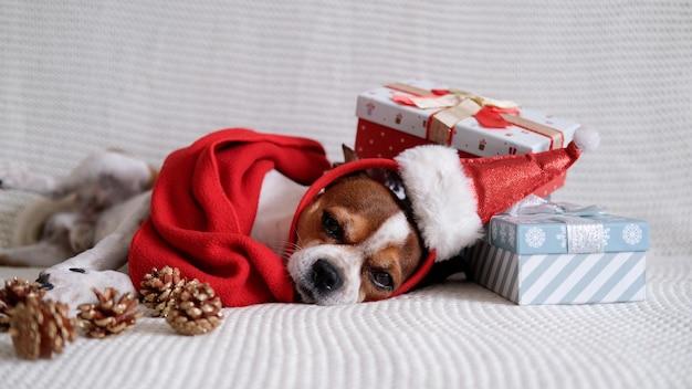 Il cane della chihuahua con l'orlo del cappello di santa e la sciarpa rossa con i regali di natale e le pigne si sdraiano sul pullman. buon natale. buon anno.