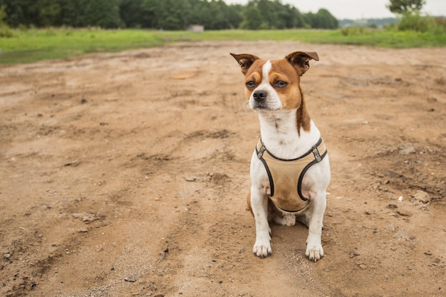 Chihuahua dog sitter sulla strada