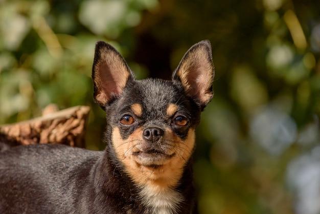 Cane chihuahua per una passeggiata. chihuahua nero, marrone e bianco. il cane in autunno cammina in giardino o nel parco.