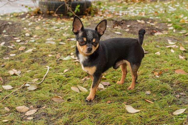Cane chihuahua per una passeggiata. chihuahua nero. il cane in autunno cammina in giardino o nel parco