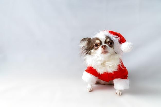 Cane della chihuahua che indossa un costume da babbo natale rosso e guarda la telecamera. isolato su sfondo bianco.
