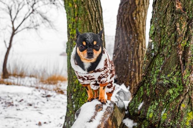 Cane chihuahua in abiti invernali. cane chihuahua in tuta invernale per cani. inverno. cane in natura