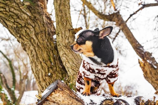 Cane chihuahua in abiti invernali. cane in tuta invernale per cani. inverno nevoso e cane