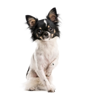 Chihuahua davanti a un muro bianco