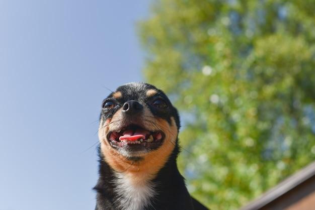 Chihuahua è seduto in panchina. cane chihuahua abbastanza marrone