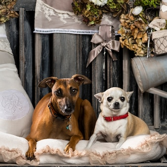Chihuahua e levriero italiano davanti a un muro rustico