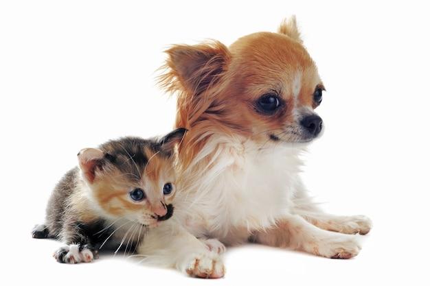 Chihuahua e gattino