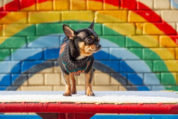 Chihuahua. piccolo chihuahua. pet in vestiti. maglione chihuahua dog black street. cane su un arcobaleno di graffiti